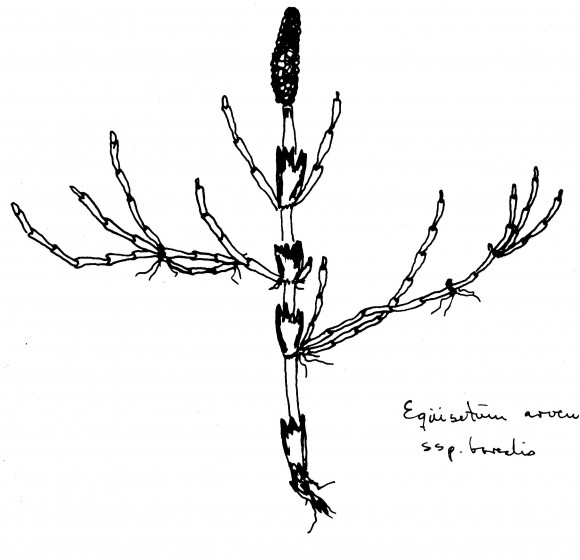 Undirtegundin ssp. borealis. Teikn. ÁHB