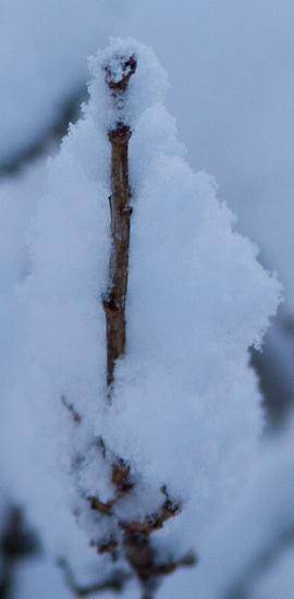 Viðarsprotar þola hart frost.