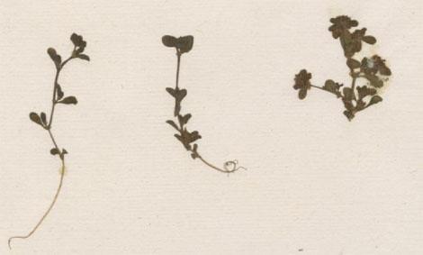 Myndin sýnir naflagras úr safni Linnés, sem J.G. König sendi honum.