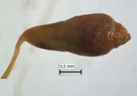Leptobryum pyriforme: Gróhirzla. Ljósm. ÁHB