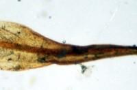 Blað af Bryoerythrophyllum rubrum úr safni höfundar. Ljósm. ÁHB.