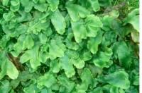 Conocephalum salebrosum (strýtuflekkur). Ljósm. ÁHB.