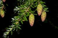 Könglar á svartgreni (Picea mariana). Ljósm. ÁHB.