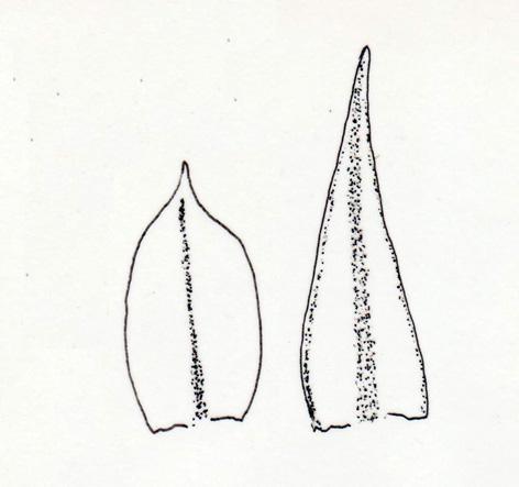 Blöð af Ceratodon purpureus (t.v.) og Bryum argenteum (t.h.). Teikn. ÁHB.