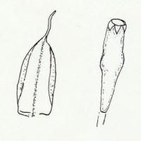 Myndin sýnir blað (t.v.) og gróhirzlu (t.h.). Teikn. ÁHB.