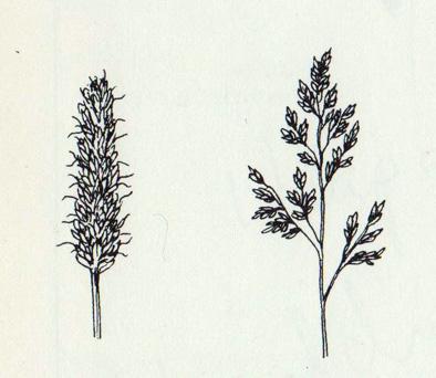 Myndin sýnir blómskipanir grasa, ax og punt. Teikn. Eggert Pétursson.