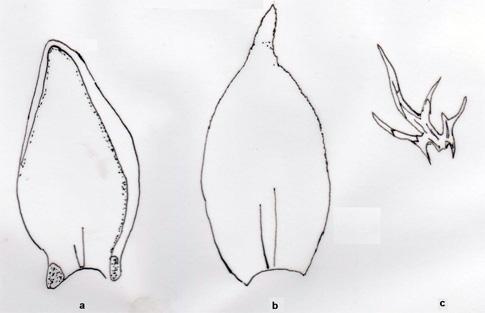 Myndin sýnir: a: blað af Pleurozium schreberi; b: blað af Hylocomium splendens; c: flosblað af Hylocomium splendens. Teikn. ÁHB.