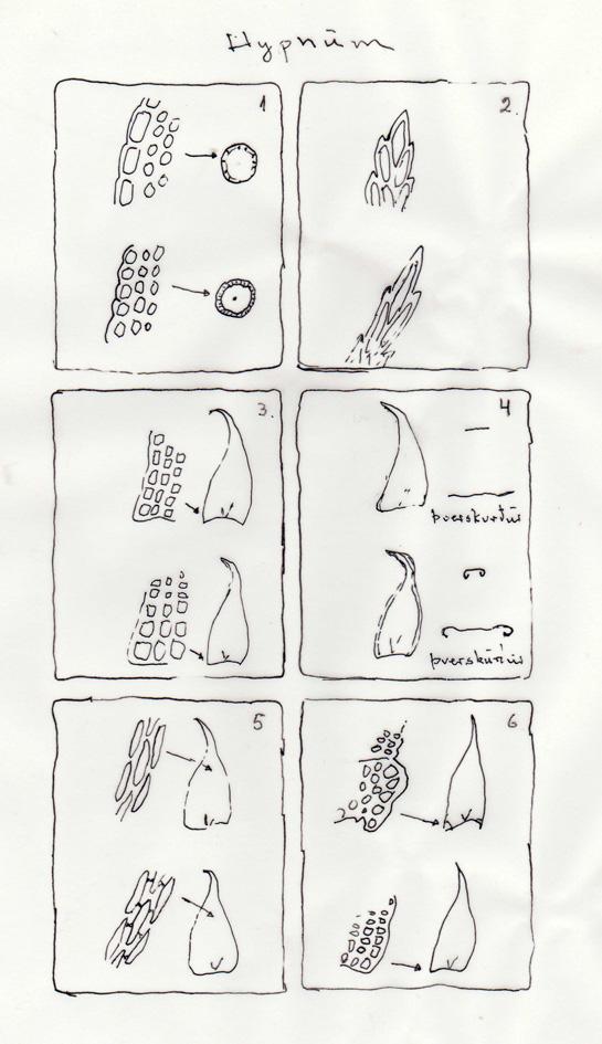 Mynd 1: Stöngull með glærþekju og án miðstrengs; stöngull án glærþekju og með miðstreng. Mynd2: Blaðendi breiðyddur; blaðoddur langyddur. Mynd 3: Jafnstórar hornfrumur; misstórar hornfrumur. Mynd $: Blaðrönd flöt; blaðrönd útundin. Mynd 5: Sléttar blaðfrumur; holóttar blaðfrumur. Mynd 6: Tútnar hornfrumur; ekki tútnar hornfrumur. Teikn. ÁHB.