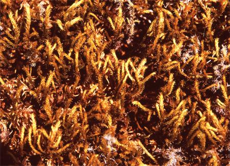 Antitrichia curtipendula (hraukmosi) er mjög auðþekktur. Ljósm. ÁHB.