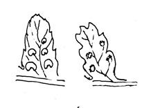 Neðra borð á a) stóra-burkna t.v., b) dílaburkna t.h. Teikn. ÁHB.