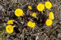Blómstönglar hóffífils skjóta upp kolli í apríl eða snemma i maí. Ljósm. ÁHB.