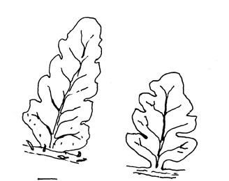 Myndin sýnir blöðkur á a) liðfætlu (W. ilvensis) t.v. og b) fjallaliðfætlu (W. alpina) t.h. Teikn. ÁHB.