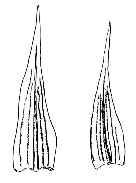 Blöð beggja tegunda; langfellingar eru áberandi; til vinstri er H. sericeum og til hægri H. lutescens. Teikn. ÁHB