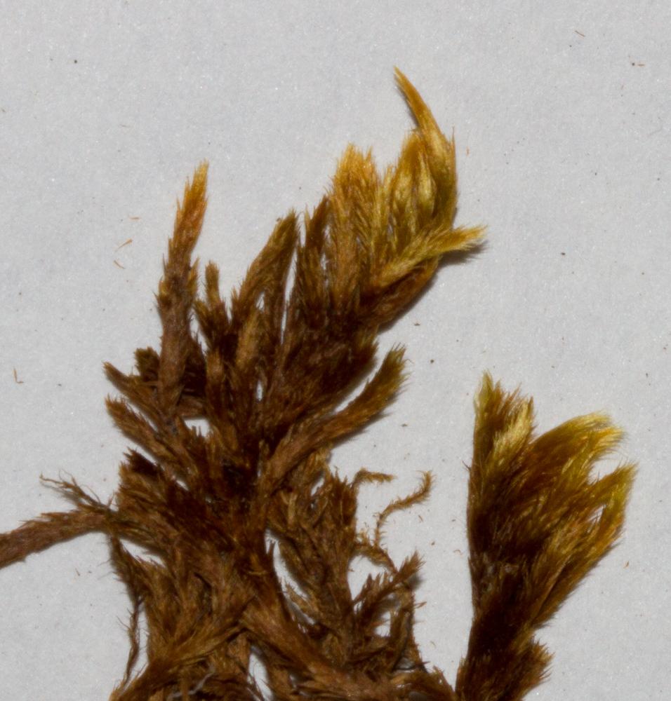 Homalothecium lutescens er uppréttur mosi og gulgrænn á lit. Ljósm. ÁHB