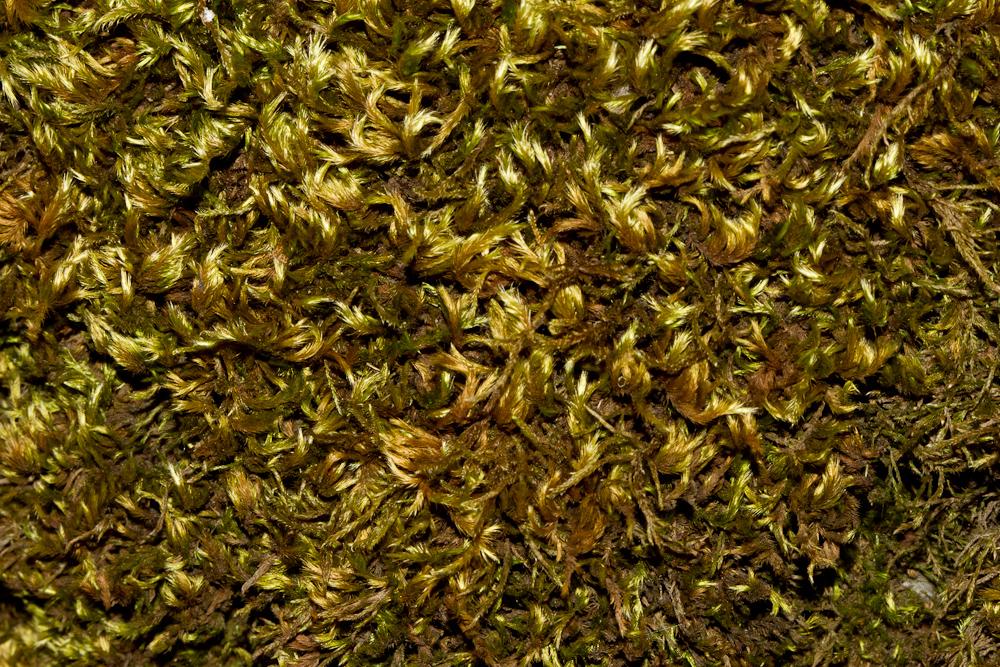 Homalothecium sericeum (klettaprýði) myndar gulgrænar, glansandi breiður á sólríkum stöðum. Ljósm. ÁHB.