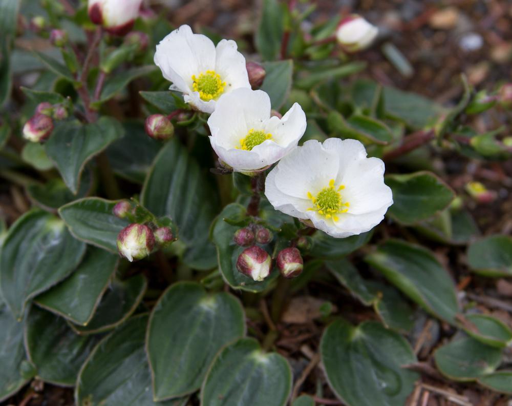 Kalksóley (Ranunculus parnassifolius) er ættuð sunnan úr Alpafjöllum og Pyreneafjöllum. Sómir sér vel í steinhæðum. Ljósm. ÁHB.