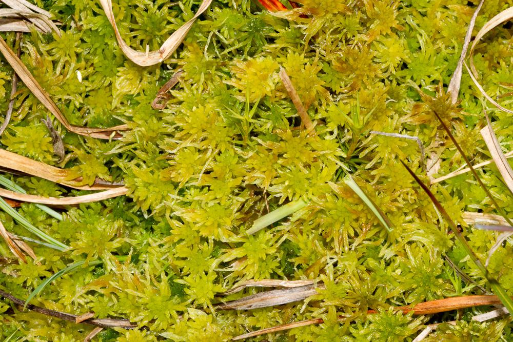 Sphagnum flexuosum (bylgjuburi) er yfirleitt miðlungsstór, ljósgulur eða grænn. Ljósm. ÁHB.