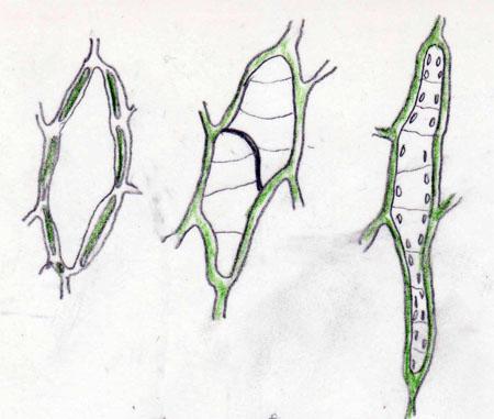 Nokkrar gerðir af glærfrumum. Fyrsta fruma er hvorki með styrktarlistum né götum og er óskipt; þá er tvískipt glærfruma með styrktarlistum og að lokum glærfruma bæði með götum og styrktarlistum, en óskipt. Teikn. ÁHB.