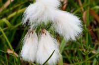 Klófífa (Eriophorum angustifolium) er ein af algengustu plöntum landsins og hefði sómt sér vel sem þjóðarblóm. Ljósm. ÁHB