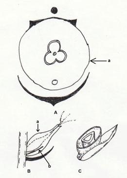 Kvenblóm stara. A: blómagraf, a, hullstur; B: langskorið kvenblóm, a, hulstur, b, axhelma; C: þverskorið kvenblóm, séð að ofan. Teikn. ÁHB.