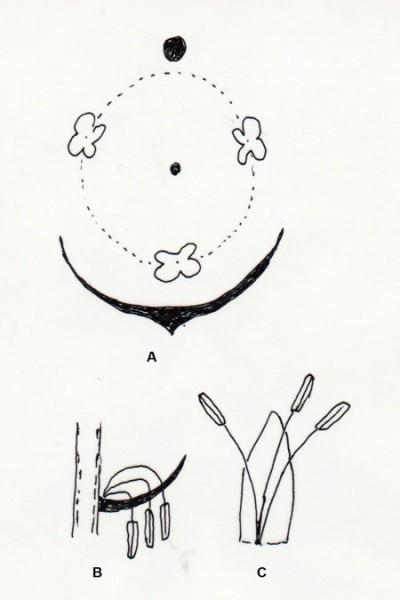 Karlblóm stara. A: blómagraf; B: 3 fræflar í hverju blómi; C: Fræflar og axhlíf. Teikn. ÁHB.