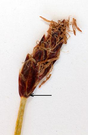 Ax á síkjaskúf (E. palustris). Tvær neðstu axhlífar greipa hvor um hálft stráið. Ljósm. ÁHB.