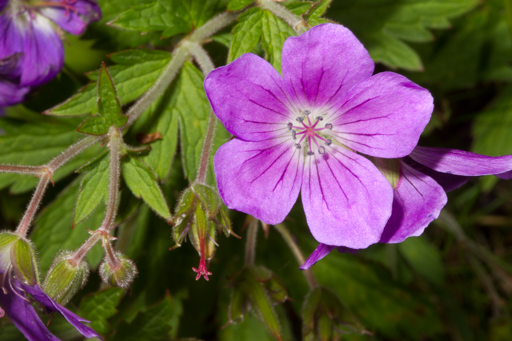 Blágresi (Geranium sylvaticum) verður stórvaxnast á friðuðu landi í kjarr- og blómlendi. Ljósm. ÁHB.