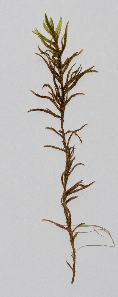Pleurozium schreberi (hrísmosi) er algengur víða þar sem birki vex. Ljósm. ÁHB.