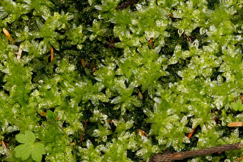 Plagiomnium undulatum í skógarbotni á Tumastöðum í Fljótshlíð 10. júlí 2013.