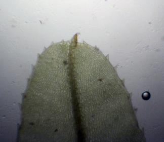 Blaðendi á Plagiomnium undulatum. Ljósm. ÁHB.