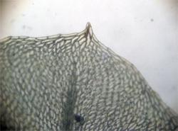 Blaðendi á Pseudobryum cinclidioides. Ljósm. ÁHB.