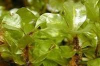 Rhizomnium magnifolium.