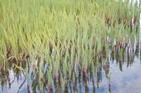 Lófótur (Hippuris vulgaris) er dæmigerð vatnaplanta, algengur um land allt. Ljósm. ÁHB.