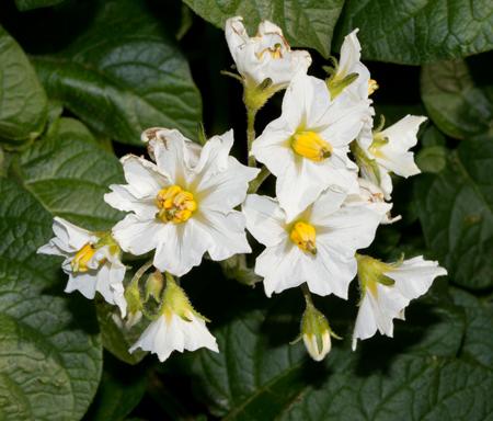 Blóm á kartöflugrasi (Solanum tuberosum). Myndin sýnir, hvernig frjóhnapparnir standa fast saman um stílinn. Ljósm. ÁHB.