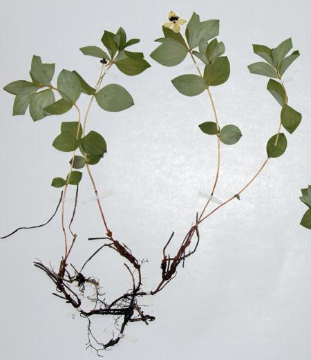 Þurrkað eintak af skollaberi (Chamaepericlymenum suecicum), sem er sjaldgæf planta og vex í snjódældum. Ljósm. ÁHB.