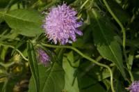 Rauðkollur (Knautia arvensis) er sjaldgæfur slæðingur innan stúfuættar. Ljósm. ÁHB.