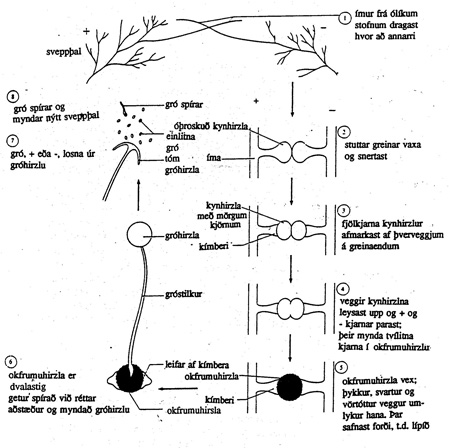 Æviferill brauðmyglusvepps (Rhizopus stolonifer).