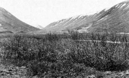 Fig. 9. Brushwood from old roots after decreasing grazing at the southern end of the valley, 1975 . Photo H. Hallgrímsson.