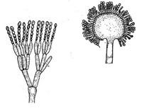 Kóníðugró á pensillínsveppi (Penicillium sp.) og bursthýi (Aspergillus sp.)