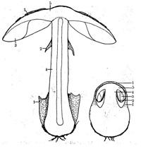 Langskurður af ungum og þroskuðum hattsveppi.. 1. heildarhula (myndar hattflyksur og skeið), 2. fanhula (myndar hengsli og kraga), 3. fanir, 4. stafur, 5. hattur
