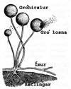Brauðmyglusveppur (Rhizopus stolonifer).