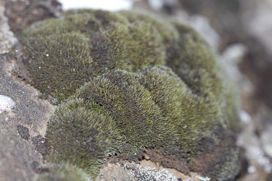 Grimmia funalis. Ljósm. ÁHB.