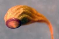 Funaria hygrometrica. Þurr gróhirzla. Ljósm. ÁHB.