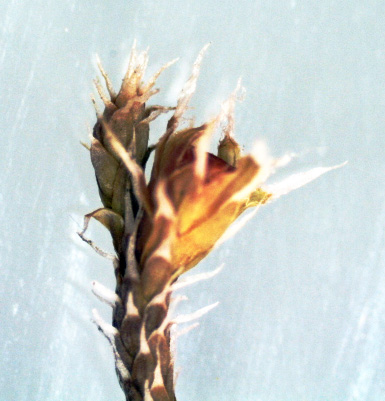Hedwigia stellata. Ljósm. ÁHB.