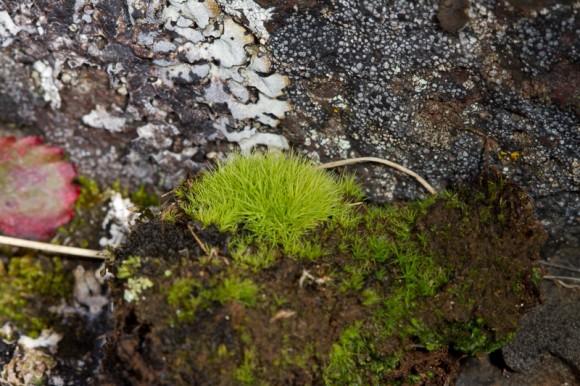 Einn fulltrúi ættarinnar er Bartramia ithyphylla. Ljósm,. ÁHB.