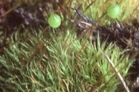 Bartramia ithyphylla með gróhirzlur. Ljósm. ÁHB.