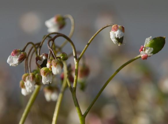 Vorperla (Erophila verna). Ljósm. ÁHB.