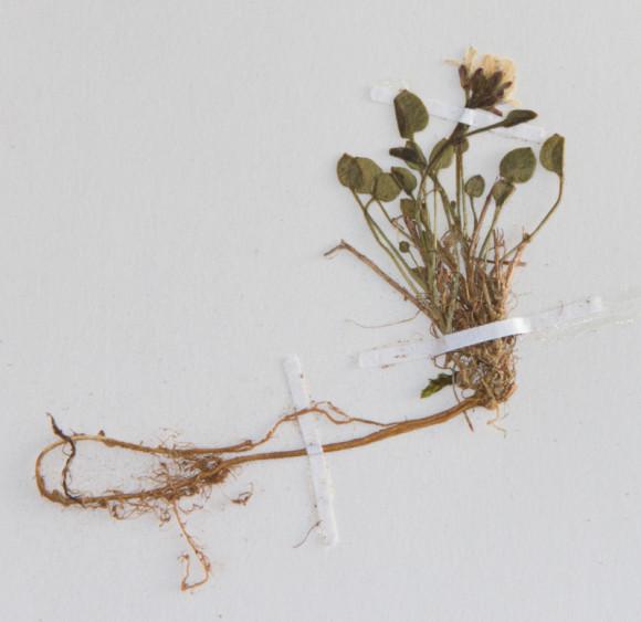 Þurrkað eintak af C. bellidifolia; ex herb. ÁHB. Ljósm. ÁHB