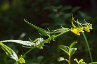 engjakambjurt (1)