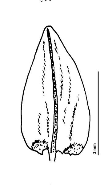 Calliergon cordifolium. Teikn. ÁHB.